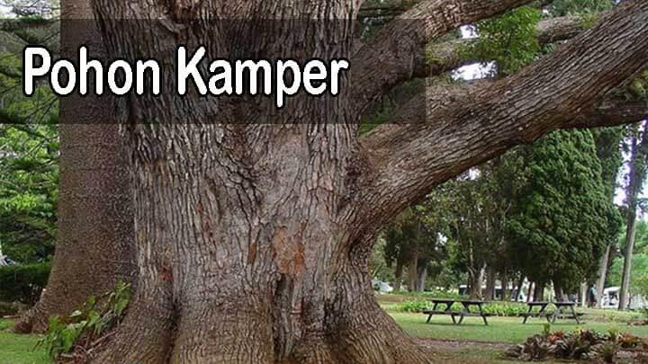 pohon kayu kamper